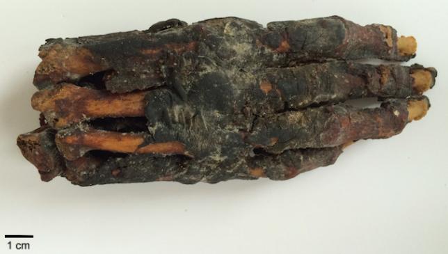 Main de momie de la Basse Époque (664-323 av. J.-C.) Collection privée